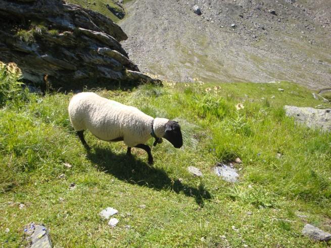 1er mouton rencontré